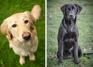 Neutering health effects more severe for golden retrievers than Labradors