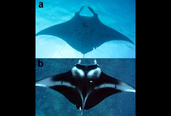 A Case Study of Manta Rays and Lagoons