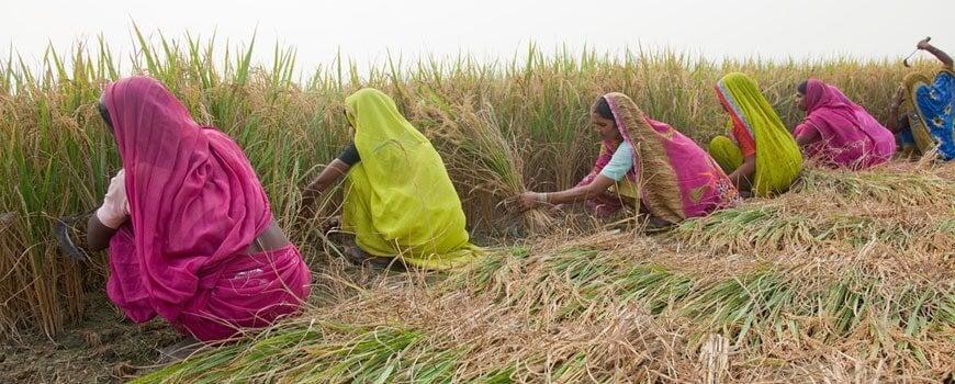Growing 'green' rice