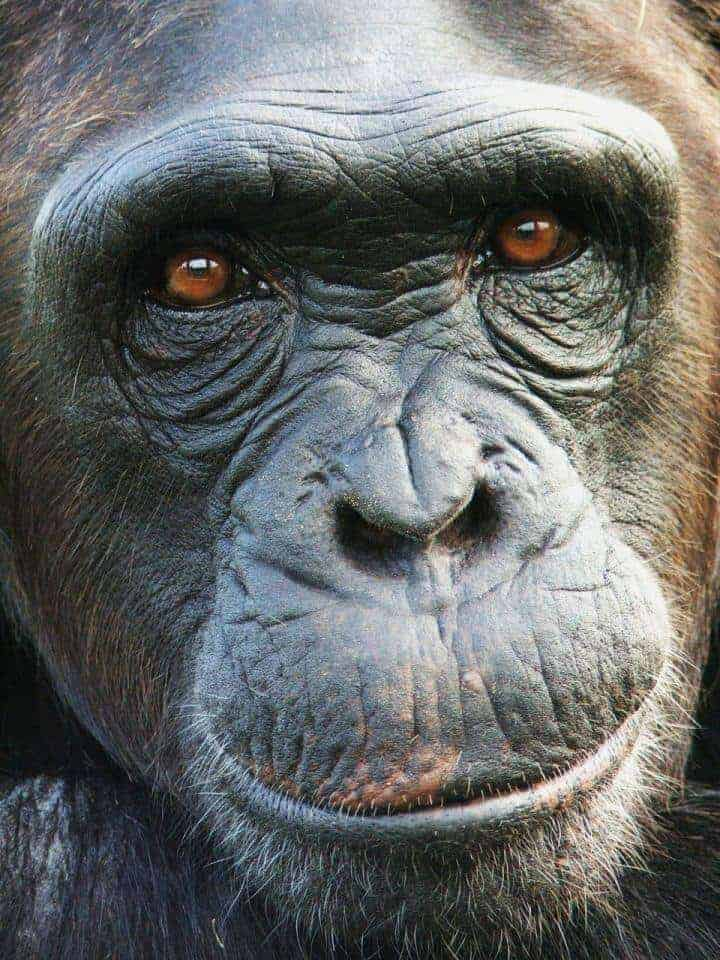 Apes prefer the glass half full, susceptible to marketing spin