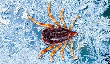 Antifreeze protein from ticks fights frostbite in mice