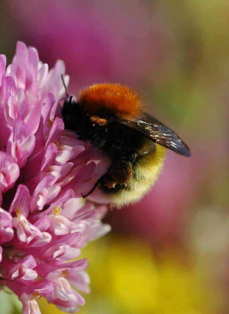 Flower-enriched farms boost bee populations