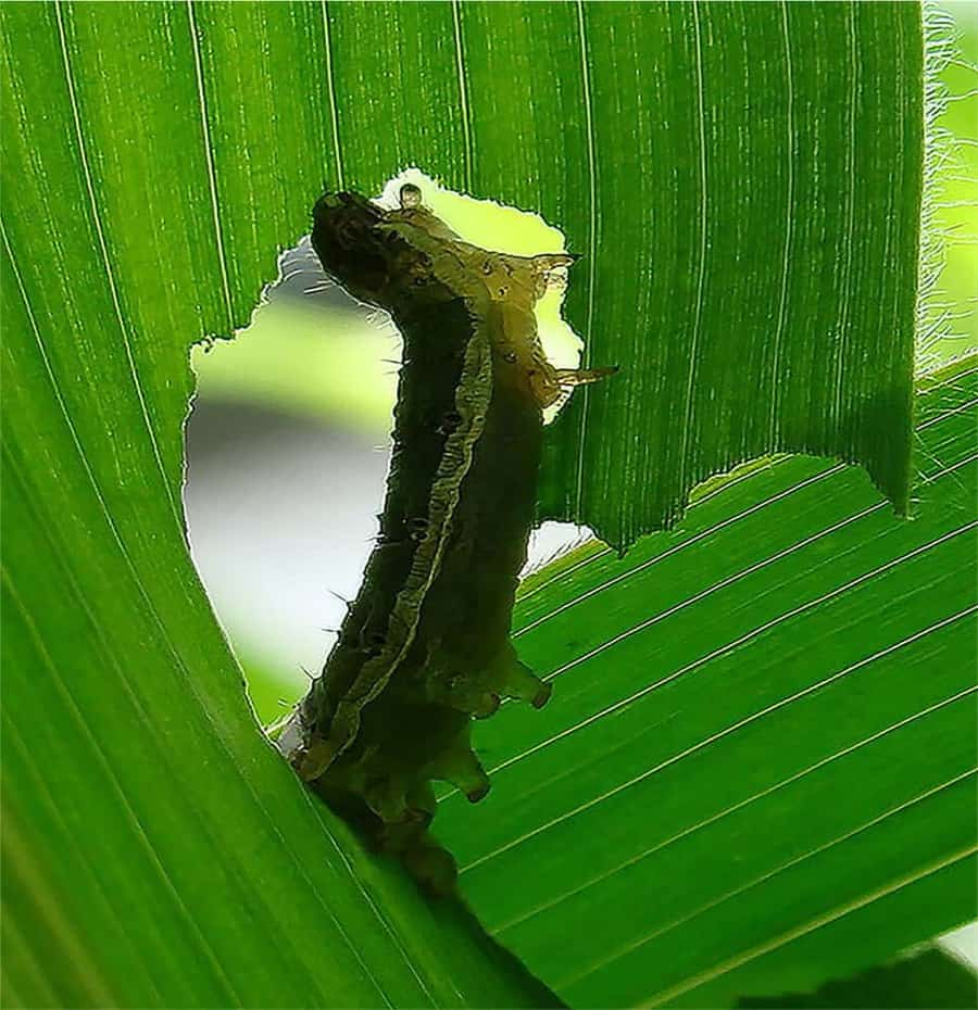 Caterpillar deceives corn plant into lowering defenses against it