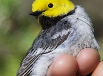 Old Growth May Help Protect Northwest Birds from Warming Temperatures