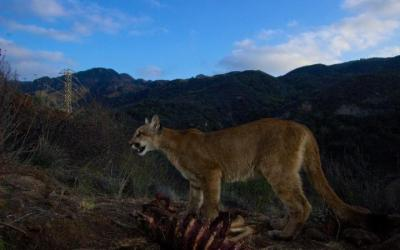 Los Angeles mountain lions hunt closer to human settlements than expected