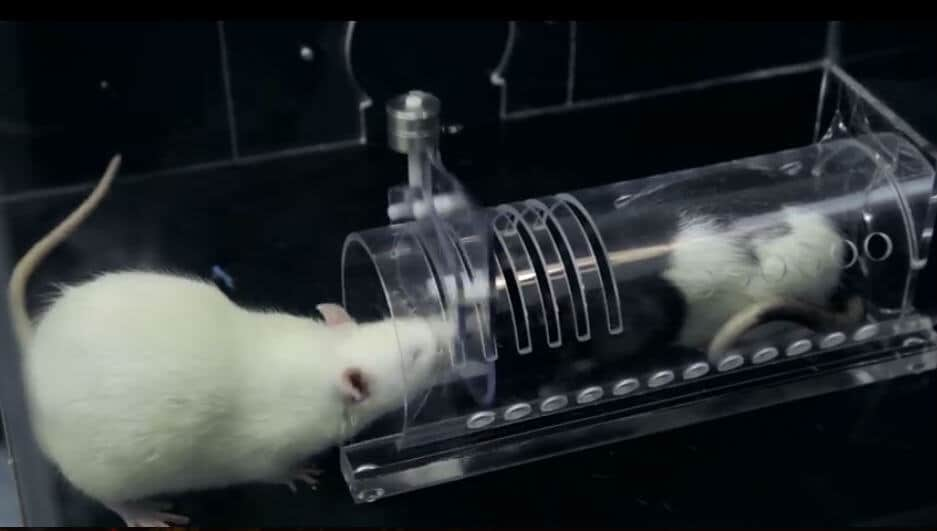 Study finds anti-anxiety drug limits rats' empathetic behavior