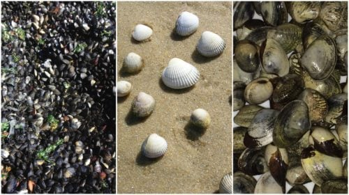 Contagious Cancers Are Spreading Among Several Species of Shellfish