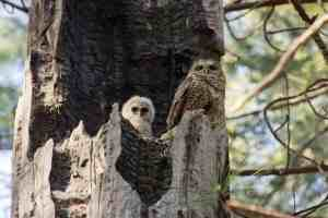 Giant forest fires exterminate spotted owls