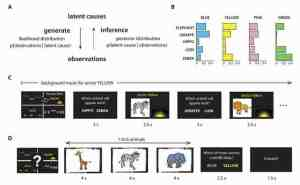 Princeton University researchers found that our brains combine complicated observations from our surroundings into a simple assessment of the situation that aids our behavior, is flexible enough to account for new information, and can accurately track the likelihood of several different explanations for what we see (A). They studied the brain while participants played a game (B) that required them to classify five different animals into the correct zones -- blue, yellow, green and pink -- in a safari park. After becoming acquainted with the animal populations in the four zones of the virtual safari park (C), participants saw a series of animal pictures and had to correctly determine in which of two zones the animals were most likely to belong (D), even when neither of the two zones was the most likely choice. Functional magnetic resonance imaging indicated that this is because the brain region known as the orbitofrontal cortex correctly tracked the probabilities that the various animals belonged to different zones.