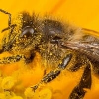 Male bees fight back against STDs