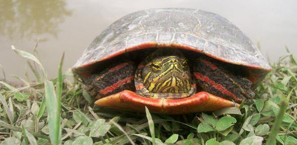 'Red gene' in birds and turtles suggests dinosaurs had bird-like colour vision