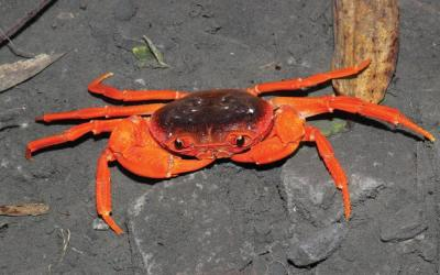 Crab from the Chinese pet market turns out to be a new species of a new genus