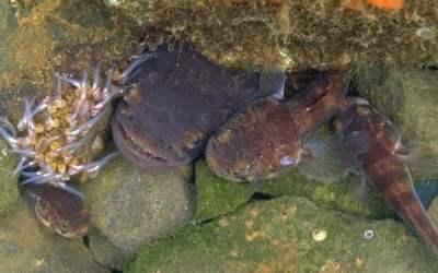 Melatonin, biological clock keep singing fish on time