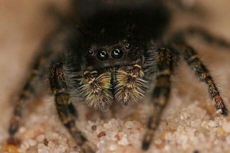 Jumping spiders can hear at a distance, new study proves
