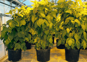 Soybean nitrogen breakthrough could help feed the world