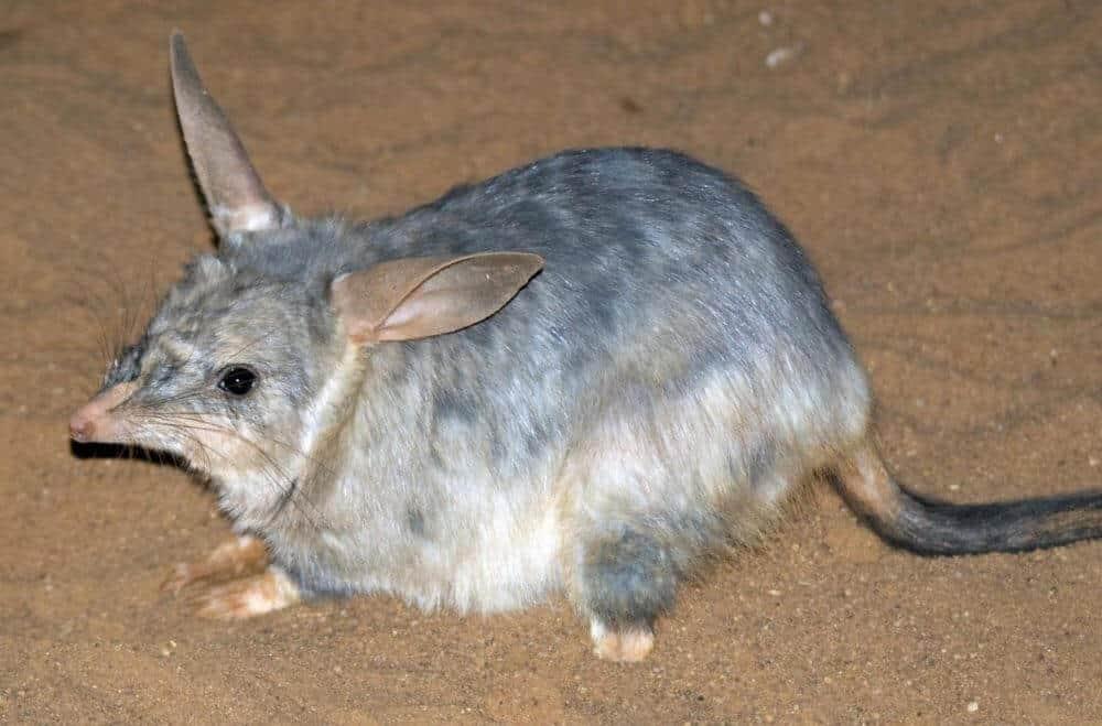 Endangered Australasian marsupials are ancient survivors of climate change
