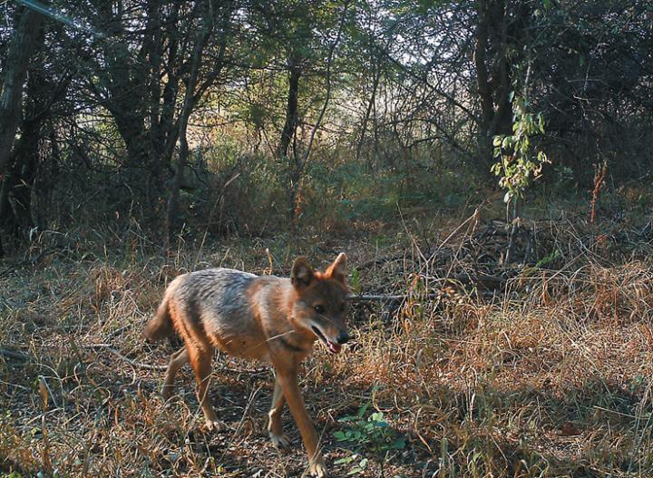 Golden jackals might be settling in the Czech Republic