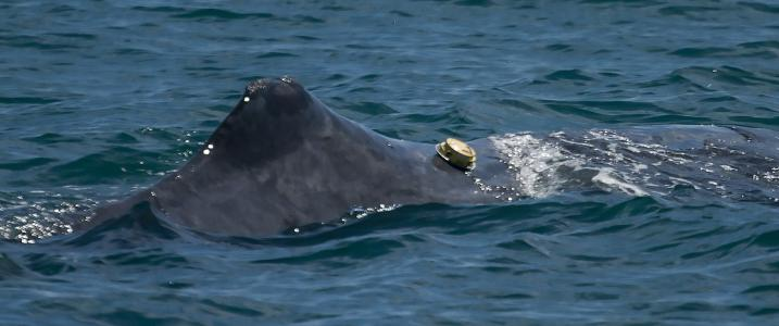 New tag revolutionizes whale research - and makes them partners in science
