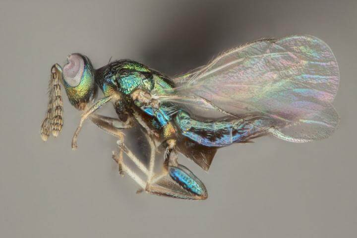 New species of parasitic wasp named after ancient god of evil Set shows wicked behavior