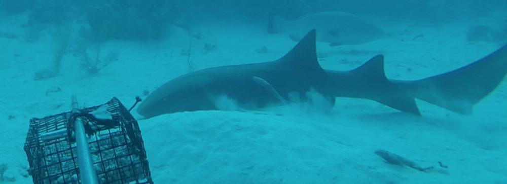 World's largest shark survey just got bigger
