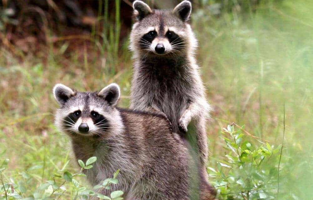 Deadly raccoon roundworm can infect humans without symptoms