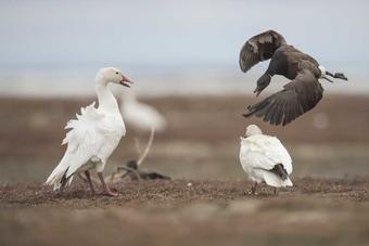 Increase of Alaskan Snow Geese OK for Other Species