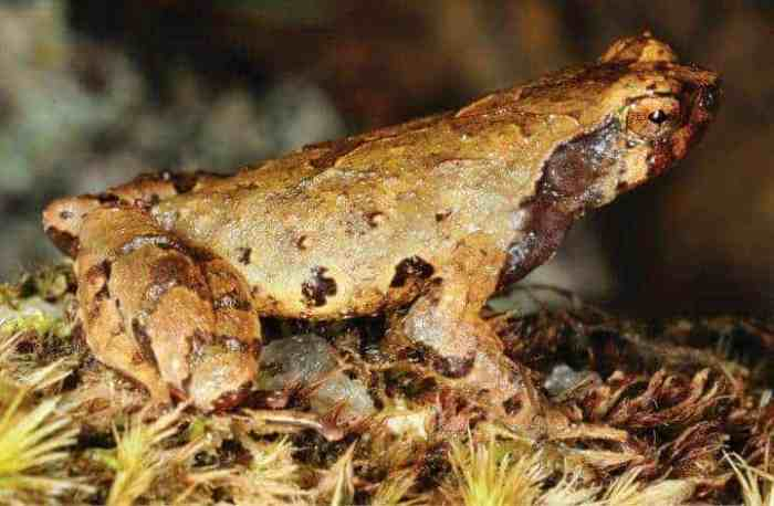 Herpetologists describe an elf frog from the elfin forests in southern Vietnam
