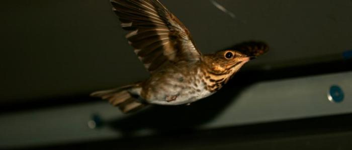 How Migrating Birds 'Run a Marathon,' Burning Muscles and Organs in Long Flights