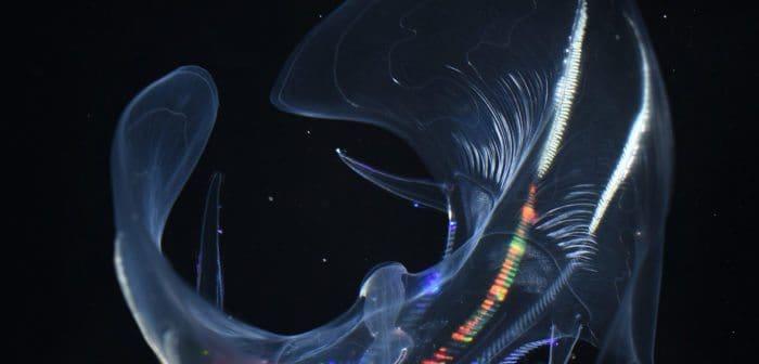Luminescent ocean drifters hold keys to deep-sea animal adaptations