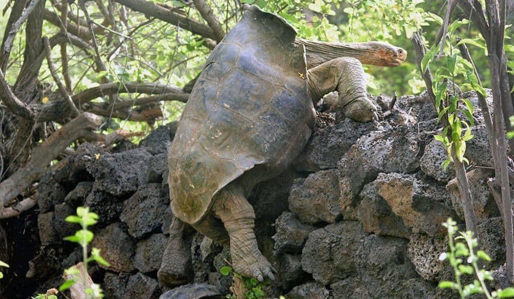 Genetic relatives of extinct tortoises rescued for breeding program
