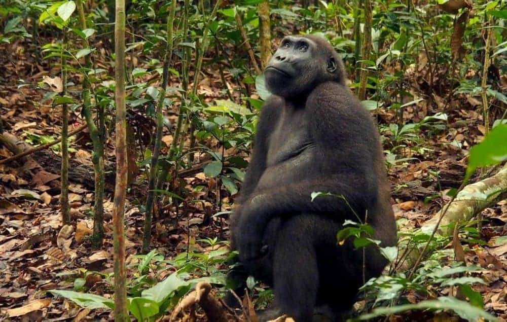 In western equatorial Africa, more gorillas and chimpanzees than expected