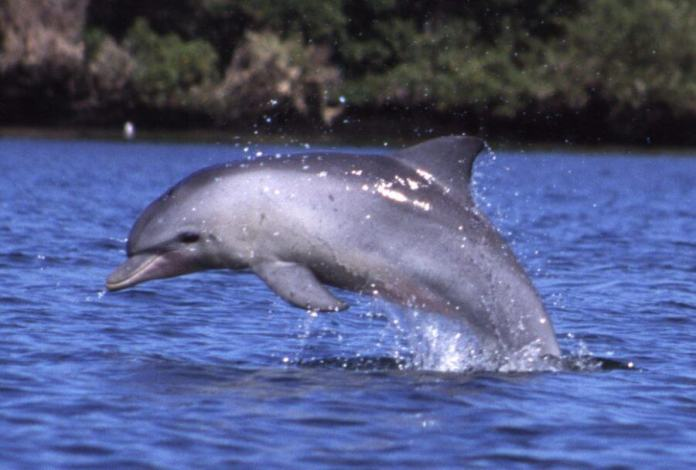 Bottlenose dolphins: Freediving champions of the dolphin world