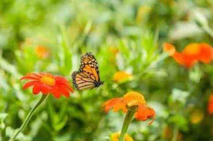 Urban Gardens Can Aid in Pollinator Conservation