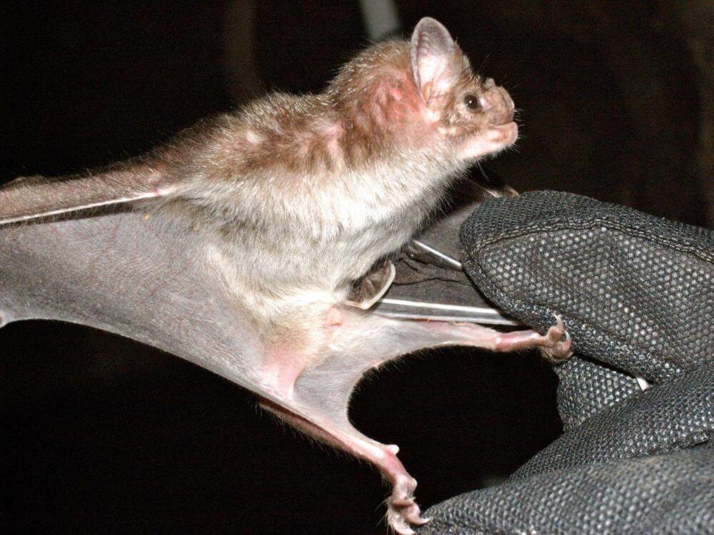 Vampire bat venom could hold key to new medical treatments