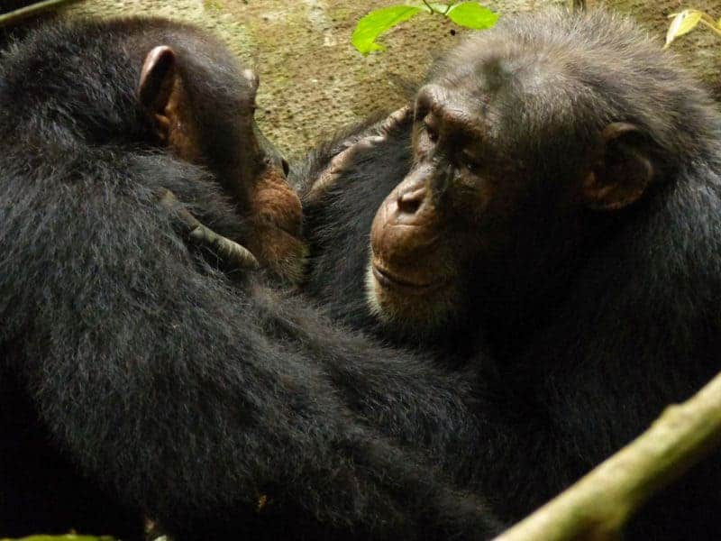 Human Activity Is Eroding Chimpanzee Behaviors and Cultures, New Study Finds