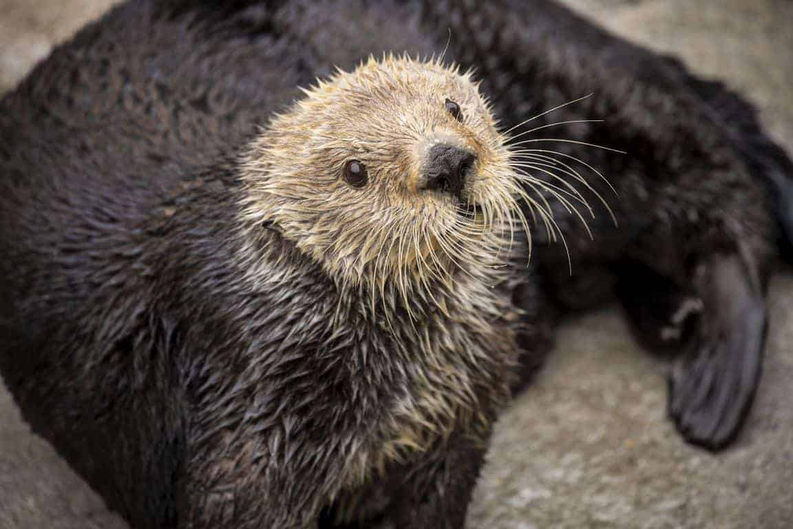 Sea otters have low genetic diversity like endangered species, biologists report