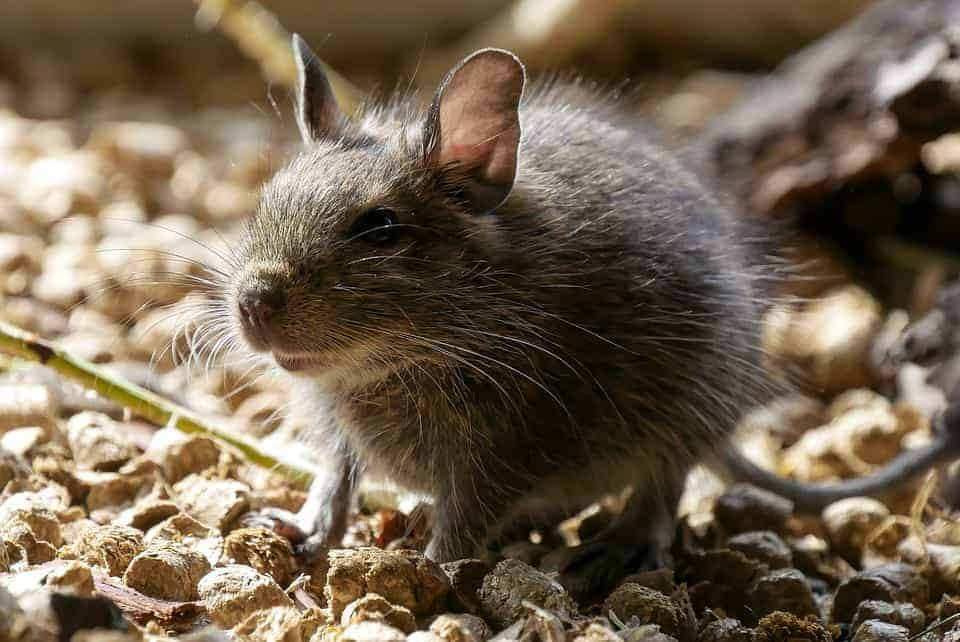 Predators' fear of humans ripples through wildlife communities, emboldening rodents