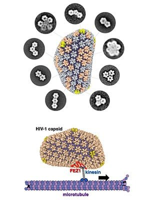 Researchers describe building blocks of HIV's protective shell