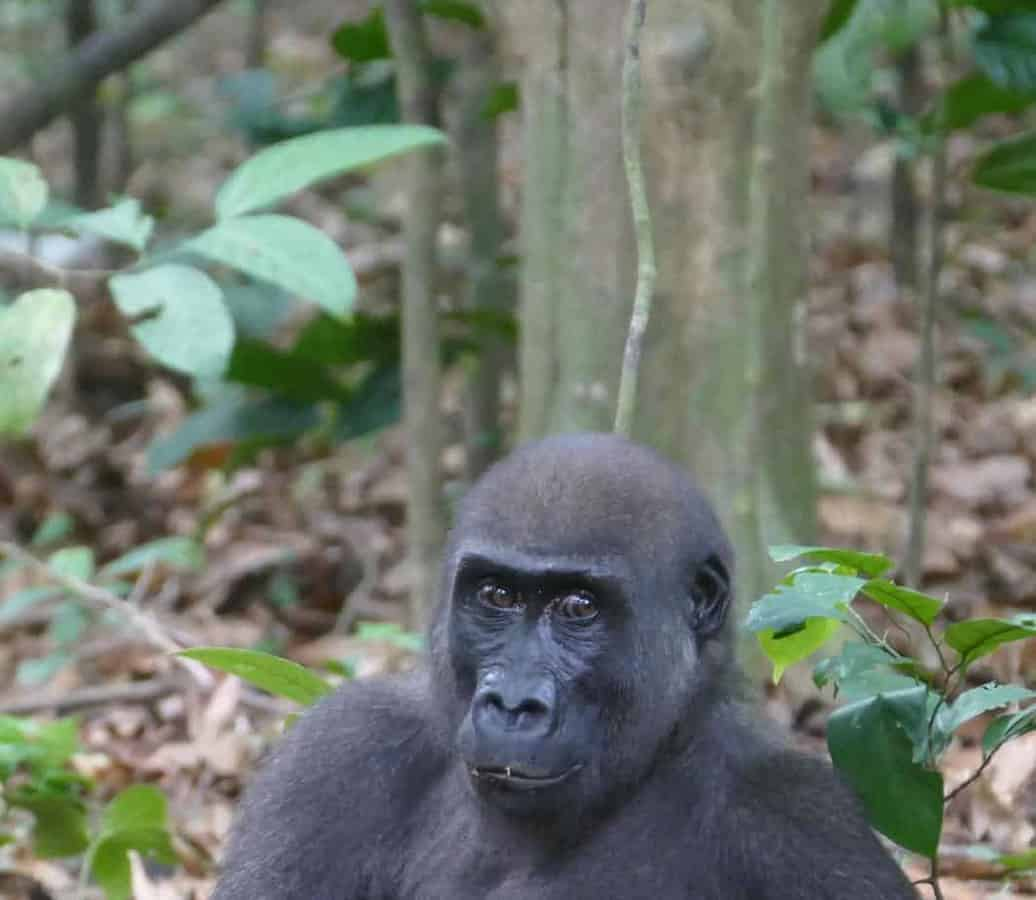 Unexpected nut eating by gorillas