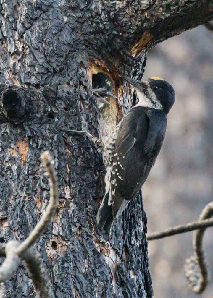 'Mega-fires' may be too extreme even for a bird that loves fire