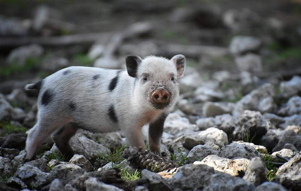 It's Taken 10,000 Years For Pigs To Become Pigs