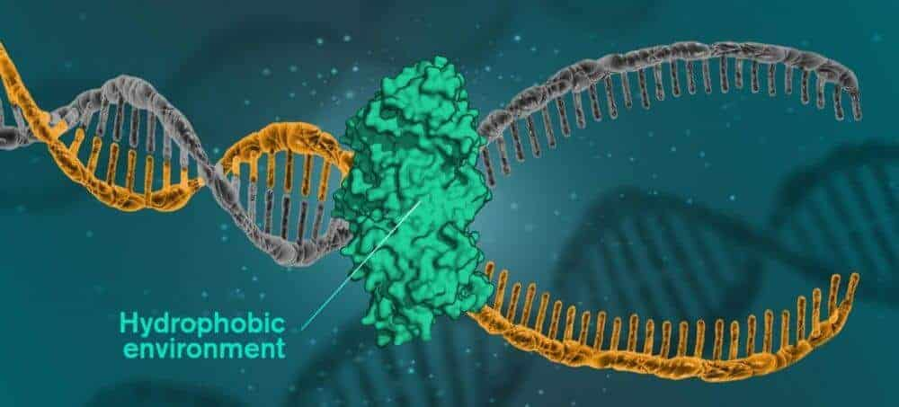 DNA is held together by hydrophobic forces