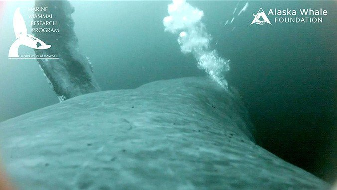 Whale bubble-net feeding documented through groundbreaking video