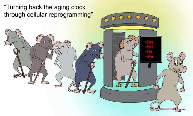 Pulsed Yamanaka Factors Set Back Epigenic Age