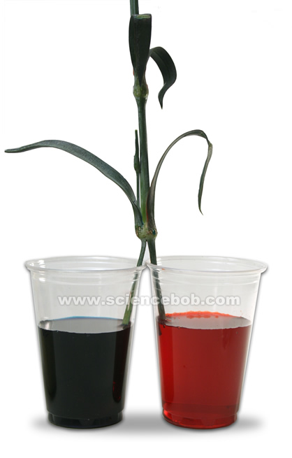 two_color_carnation