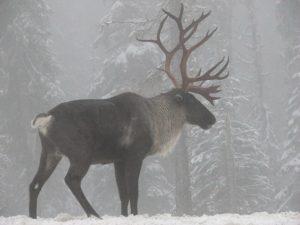 Woodland caribou. Photo Steve Forrest CC BY-NC 2.0
