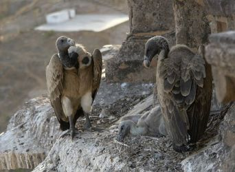 Vultures_in_the_nest