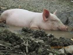 Schweinerei im Bundestag