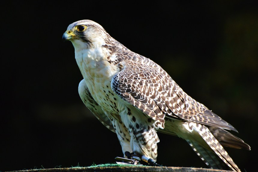 Reproductive program for hunting falcons of the Science for Nature Foundation