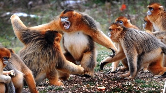 Golden snub-nosed monkeys